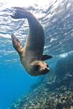 Galapagos Sea Lion (Zalophus Wollebaeki) Underwater, Champion Island, Galapagos Islands, Ecuador Papier Photo par Michael Nolan