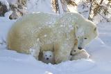 Polar Bear (Ursus Maritimus) and Cubs  Wapusk National Park  Churchill  Hudson Bay  Canada