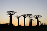 The Alley of the Baobabs (Avenue de Baobabs)  Between Morondava and Belon'I Tsiribihina  Madagascar