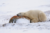 Polar Bear Resting  Churchill  Hudson Bay  Manitoba  Canada  North America