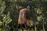 Cinnamon Black Bear (Ursus Americanus)  Glacier National Park  Montana  United States of America