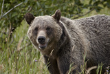 Grizzly Bear (Ursus Arctos Horribilis)  Glacier National Park  Montana  United States of America