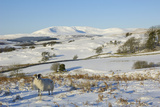 Black Faced Sheep with Cairnsmore of Fleet in Snow  Laghead  Dumfries and Galloway  Scotland  UK
