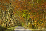 Avenue of Beech Trees  Near Laurieston  Dumfries and Galloway  Scotland  United Kingdom  Europe