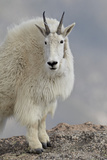 Mountain Goat (Oreamnos Americanus)  Mount Evans  Arapaho-Roosevelt National Forest  Colorado  USA