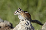 Colorado Chipmunk (Eutamias Quadrivittatus)  San Juan National Forest  Colorado  USA