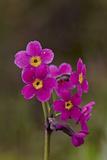 Parry's Primrose (Primula Parryi)  San Juan National Forest  Colorado  United States of America
