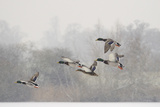Four Mallard Drakes and a Duck Flying over Frozen Lake in Snowstorm  Wiltshire  England  UK