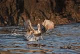 Pelican Fishing  Anacapa  Channel Islands National Park  California  United States of America