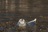 Atlantic Grey Seal (Halichoerus Grypus) Pup  Martins Haven  Pembrokeshire  Wales  United Kingdom