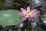 Lotus Flower (Water Lily)  Kerala  India  Asia