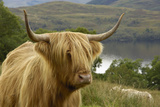Highland Cattle Above Loch Katrine  Loch Lomond and Trossachs National Park  Stirling  Scotland  UK
