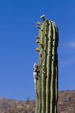 San Esteban Spiny-Tailed Iguana on Cardon Cactus  Isla San Esteban  Gulf of California  Mexico