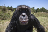 Orphaned or Abused Chimpanzees (Pan Troglodytes)  Sweetwaters Chimpanzee Sanctuary  Kenya