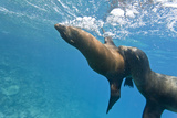 Galapagos Sea Lions (Zalophus Wollebaeki) Underwater  Champion Island  Galapagos Islands  Ecuador