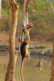Bonnett Macaques Playing  Karnataka  India  Asia