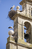 Two European White Storks and their Nests on Convent Bell Tower  Santo Domingo  La Rioja  Spain