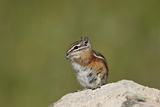 Colorado Chipmunk (Eutamias Quadrivittatus) Eating  San Juan National Forest  Colorado  USA