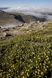 Alpine Avens Above Clouds  Mt Evans  Arapaho-Roosevelt Nat'l Forest  Colorado  USA