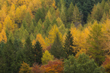 Variety of Coniferous Tree Colours in Autumn  Lake District National Park  Cumbria  England  UK