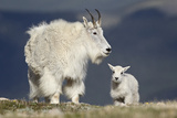Mountain Goat Nanny and Kid  Mt Evans  Arapaho-Roosevelt Nat'l Forest  Colorado  USA