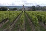Vineyard  Chinon  Indre-Et-Loire  Touraine  France  Europe