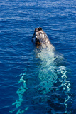 Humpback Whale (Megaptera Novaeangliae) in Harvey Bay  Queensland  Australia  Pacific