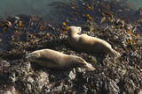 Atlantic Grey Seals (Halichoerus Grypus) Hauled Out on Rock  Skomer Is  Pembrokeshire  Wales  UK