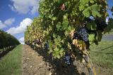 Vineyard  Saumur  Maine-Et-Loire  Loire Valley  France  Europe