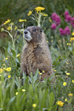 Yellow-Bellied Marmot Among Wildflowers  San Juan Nat'l Forest  Colorado  USA
