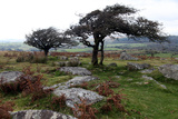 Two Windswept Trees  Near Hexworthy  Dartmoor  Devon  England  United Kingdom  Europe
