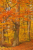 Autumn Colours in the Beech Trees Near to Turkdean in the Cotwolds  Gloucestershire  England  UK