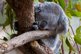 Koala (Phascolarctos Cinereus) in the Townsville Sanctuary  Queensland  Australia  Pacific