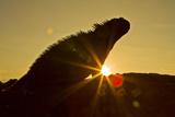 Galapagos Marine Iguana (Amblyrhynchus Cristatus)  Fernandina Island  UNESCO Site  Ecuador