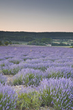 Lavender Fields Near Sault  Vaucluse  Provence  France  Europe