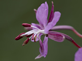 Fireweed (Chamerion Angustifolium)  San Juan National Forest  Colorado  United States of America
