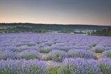 Lavender Fields Near to Sault  Vaucluse  Provence  France  Europe