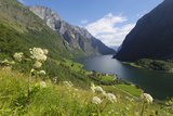 Wildflower Meadow Overlooking Naeroyfjorden  Sogn Og Fjordane  UNESCO World Heritage Site  Norway