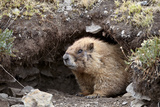 Yellow-Bellied Marmot at Burrow Entrance  San Juan Nat'l Forest  Colorado  USA