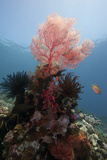 Reef Scene with Sea Fan  Komodo  Indonesia  Southeast Asia  Asia