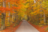 Autumn Colours in Beech Trees on the Road to Turkdean in the Cotwolds  Gloucestershire  England  UK