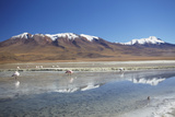 Flamingoes at Laguna Adeyonda on Altiplano  Potosi Department  Bolivia  South America