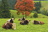 Bulls on Pasture and Maple Tree  Black Forest  Schwarzwald-Baar  Baden-Wurttemberg  Germany  Europe
