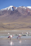 Flamingoes at Laguna Adeyonda on Altiplano  Potosi Department  Bolivia  South America