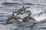 Long-Beaked Common Dolphin  Isla San Esteban  Gulf of California (Sea of Cortez)  Mexico
