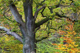 Autumn Tree in Borrowdale  Lake District National Park  Cumbria  England  United Kingdom  Europe