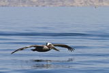Adult Brown Pelican (Pelecanus Occidentalis)  Gulf of California  Baja California  Mexico
