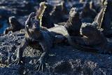 Galapagos Marine Iguanas (Amblyrhynchus Cristatus)  Fernandina Island  UNESCO Site  Ecuador