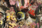 Spot-Face Moray (Gymnothorax Fimbriatus)  Southern Thailand  Andaman Sea  Indian Ocean  Asia