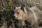 Grizzly Bear (Ursus Arctos Horribilis)  Glacier National Park  Montana  United States of America